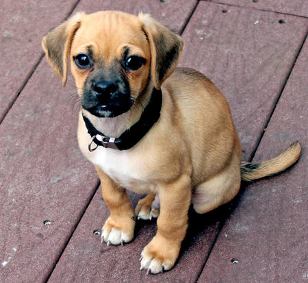 Tucker the Puggle Pictures 767764