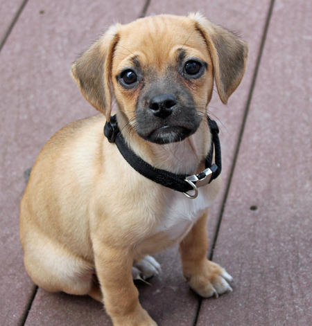 Tucker the Puggle Pictures 767759