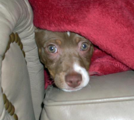 Tucker the Rat Terrier Pictures 790889
