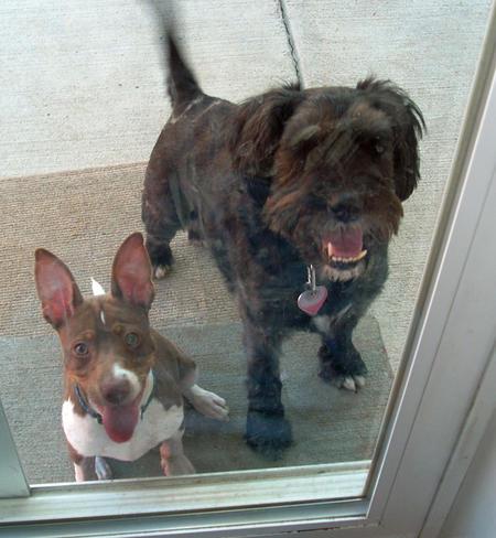 Tucker the Rat Terrier Pictures 790891