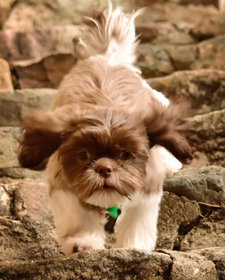 Tucker the Shih Tzu Pictures 1044955