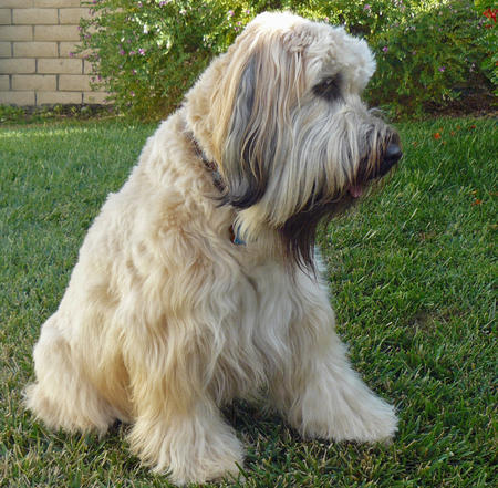 Tucker the Wheaten Terrier Pictures 453921