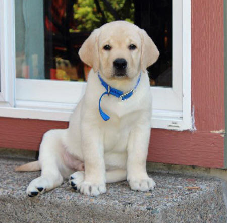Tug the Labrador Retriever Pictures 1023994
