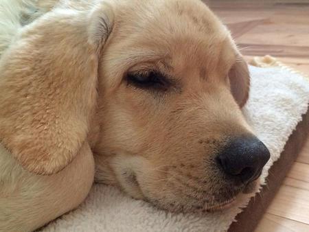 Tug the Labrador Retriever Pictures 1023997