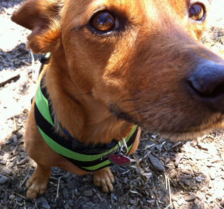 Tula the Dachshund Mix Pictures 994533