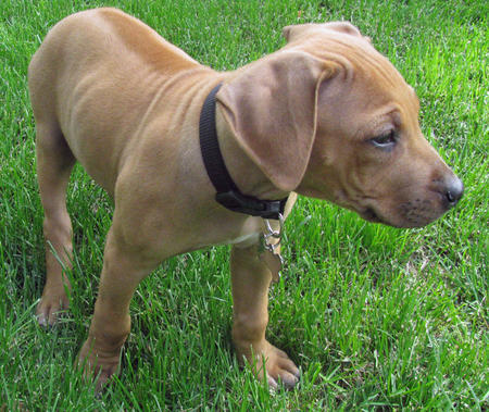 Tula the Rhodesian Ridgeback Pictures 627032