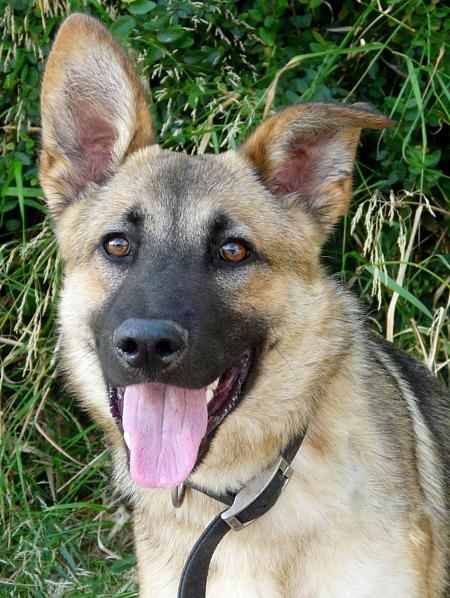Turbo the Adoptable German Shepherd Pictures 684571