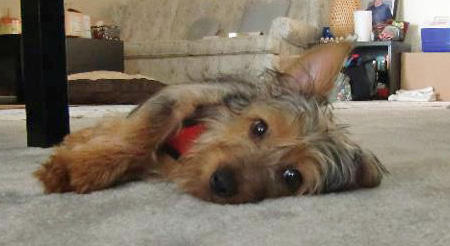 Ty the Silky Terrier Pictures 963386