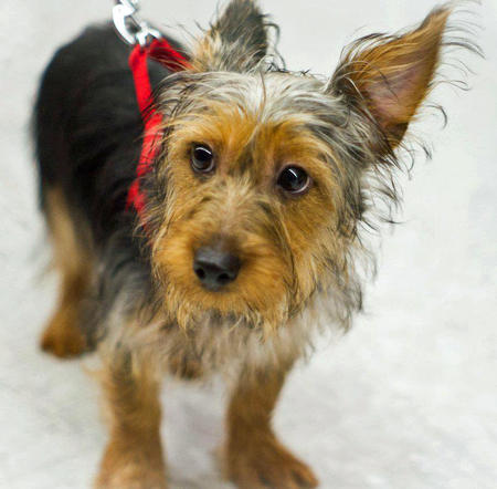 Ty the Silky Terrier Pictures 963383