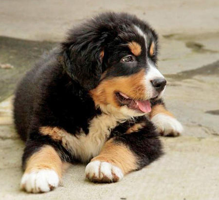 Tyson the Bernese Mountain Dog Pictures 963464