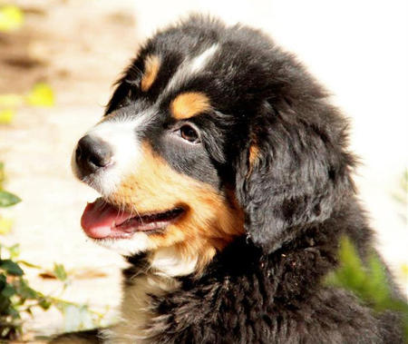 Tyson the Bernese Mountain Dog Pictures 963466