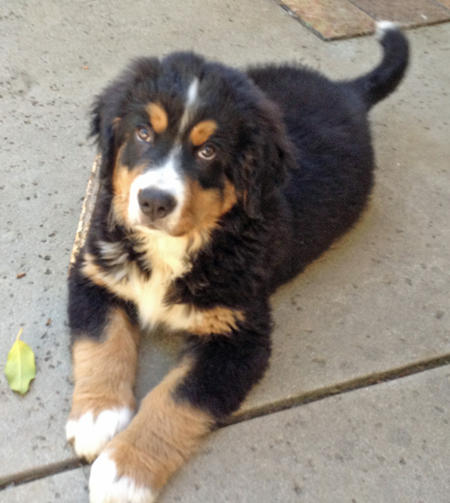 Tyson the Bernese Mountain Dog Pictures 963467