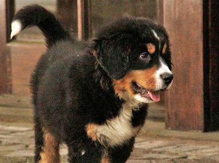 Tyson the Bernese Mountain Dog Pictures 963468