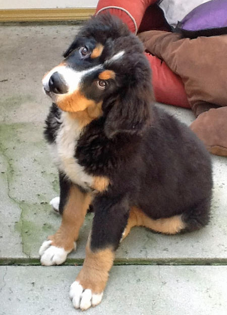 Tyson the Bernese Mountain Dog Pictures 963469