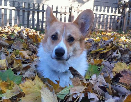 Uno the Pembroke Welsh Corgi Pictures 992281