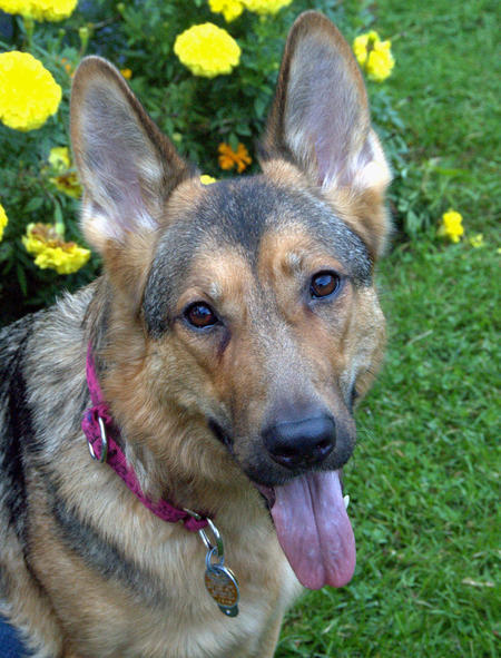 Uschi the German Shepherd Pictures 839614