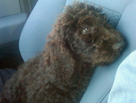 Vail the Poodle Mix Pictures 963271
