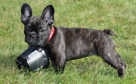 Vera the French Bulldog Pictures 467479