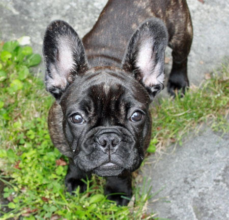 Vera the French Bulldog Pictures 467483