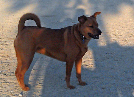 Vesta the Basenji Mix Pictures 937387