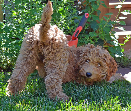 Vida the Labradoodle Pictures 1021915