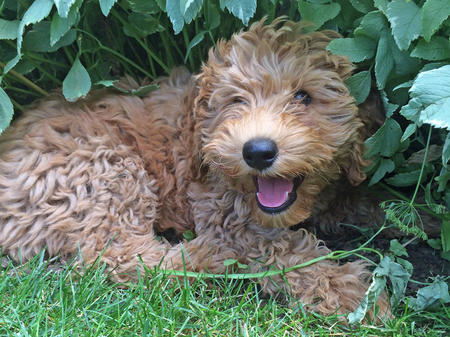 Vida the Labradoodle Pictures 1021917