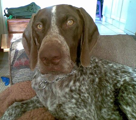 Vin the German Shorthaired Pointer Pictures 951824