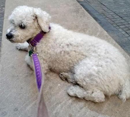 Violet the Poodle Mix Pictures 1047987