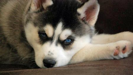 Violet the Siberian Husky Pictures 764897