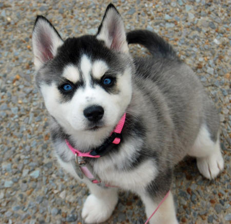 Violet the Siberian Husky Pictures 764899
