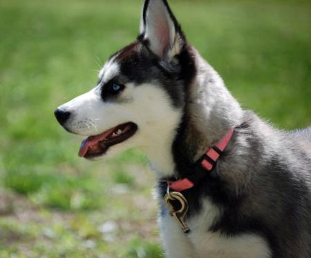 Violet the Siberian Husky Pictures 764901