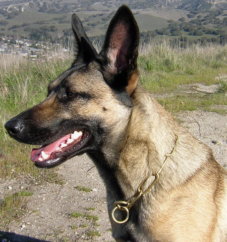 Vixen the Belgian Malinois Pictures 456339