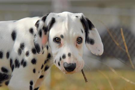 Vixen the Dalmatian Pictures 483350