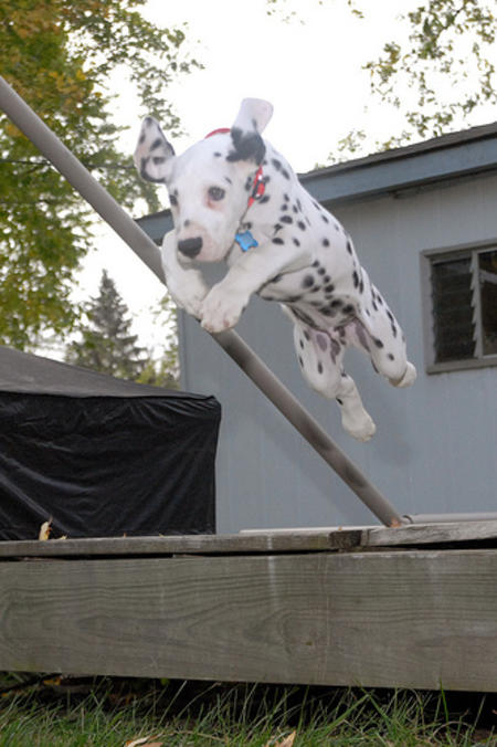 Vixen the Dalmatian Pictures 483351