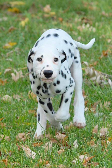 Vixen the Dalmatian Pictures 483352