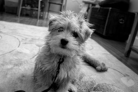 Waffle the Maltese Mix Pictures 748762
