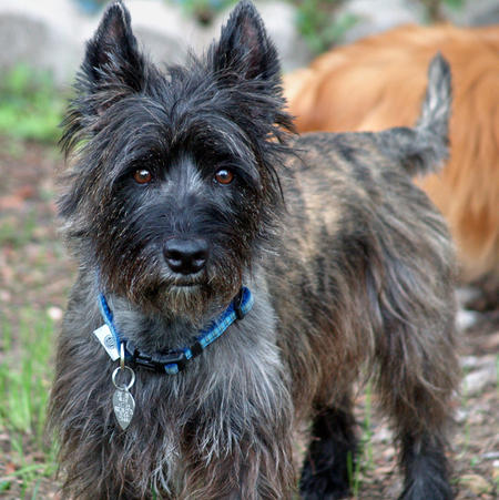 Walker the Cairn Terrier Pictures 527421