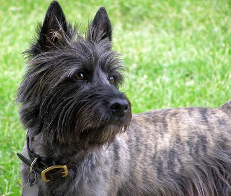 Walker the Cairn Terrier Pictures 527424