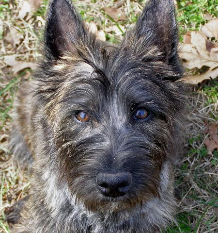 Walker the Cairn Terrier Pictures 527425