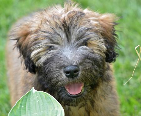 Wallace the Soft Coated Wheaten Terrier Pictures 831784