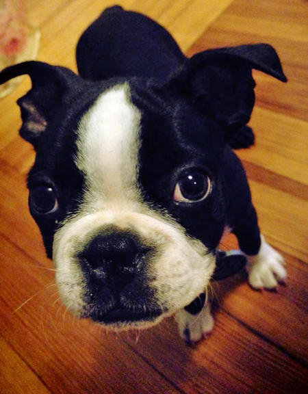 Wally the Boston Terrier Pictures 1006425