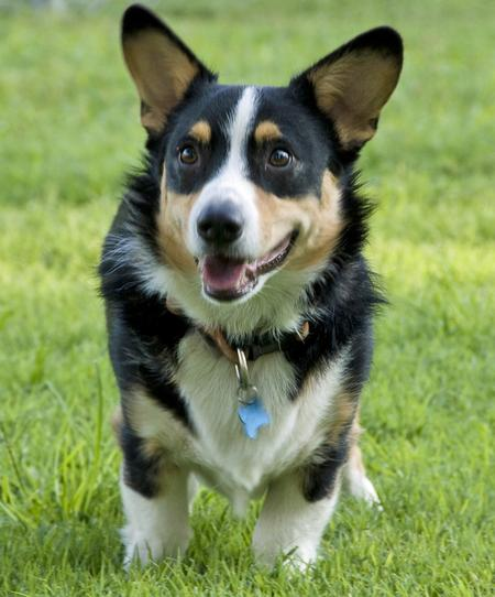 Wally the Pembroke Welsh Corgi Pictures 789524