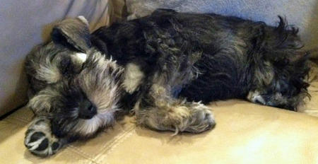 Walter the Miniature Schnauzer Pictures 727543