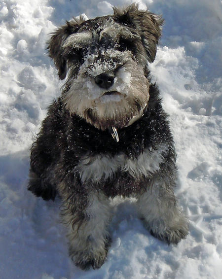 Walter the Miniature Schnauzer Pictures 727545