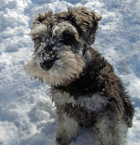 Walter the Miniature Schnauzer Pictures 727546