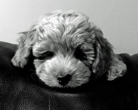 Watson the Cockapoo Pictures 966612