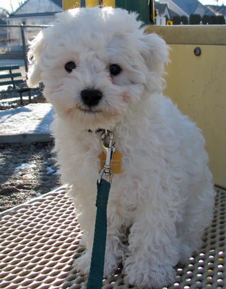 Waylon the Bichon Frise Pictures 771075