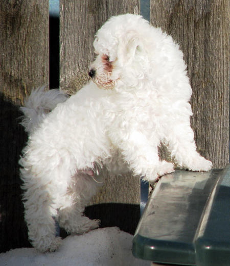 Waylon the Bichon Frise Pictures 771076