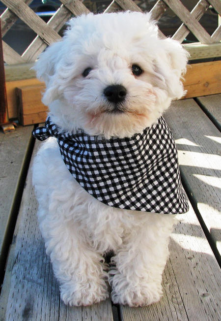 Waylon the Bichon Frise Pictures 771078