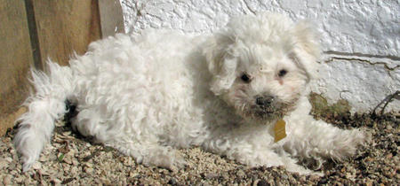 Waylon the Bichon Frise Pictures 771079